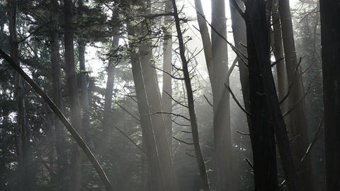 Static wide shot of sunbeams in fort ross woods california Footage