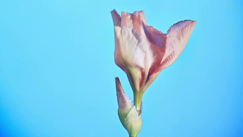 Blooming Iris Flower Footage