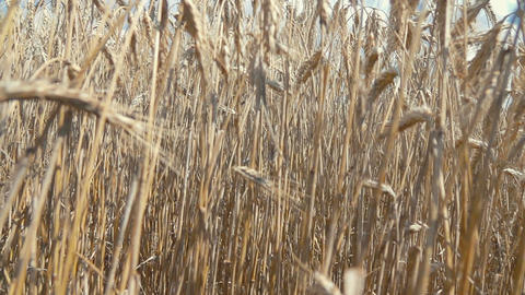 Video of wheat field in real slow motion Footage
