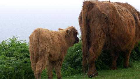 Galloway Calf And Cow, Scottland Footage