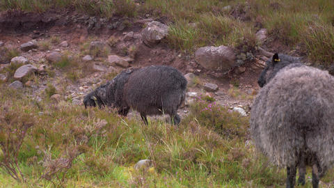 Scottish Black Sheeps In Heavy Rain Footage