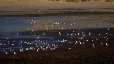 Flock Of Seagulls At Scottish Beach Footage
