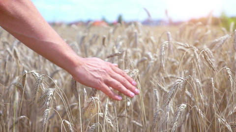 Video of hand caressing wheat in the field in real slow motion Footage