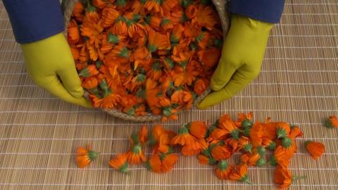 fresh calendula marigold medical flowers on table Footage