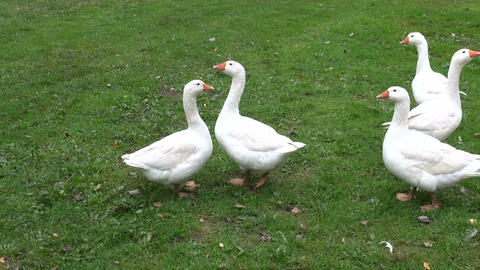 white domestic animal gooses in farm Footage