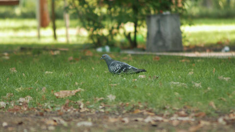 Pigeon looking for food on the green grass 画像