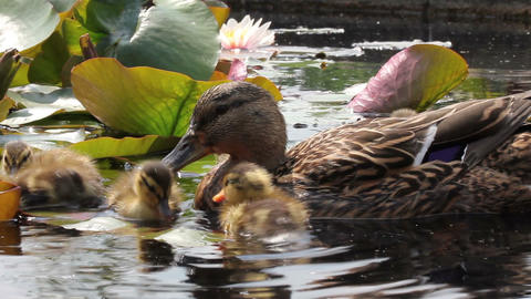 Duck family swimming in the pond with water lilies Stock Video Footage