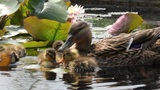 Duck Family Swimming In The Pond With Water Lilies stock footage