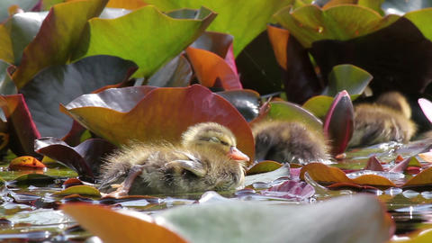 Young chick relaxing in the pond Stock Video Footage