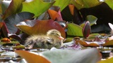 Young Chick Relaxing In The Pond. stock footage