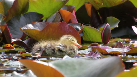 Young chick relaxing in the pond Footage