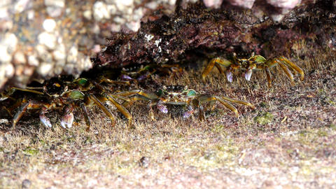 Crabs at the beach Stock Video Footage