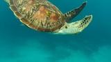 Sea turtle Footage