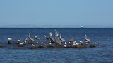 Pelicans And Seagulls Sharing A Rock Outcrop On The Ocean stock footage