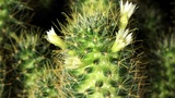 Time-lapse Opening white Mammillaria (Mammillaria gracilis) Footage