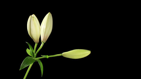 Blooming white lily on the black background (Lilium... Stock Video Footage