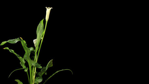 Blooming white calla on the black background (Calla... Stock Video Footage