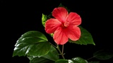 Blooming red Hibiscus on a black background (Hibiscus rosa-sinensis L.) (Time Lapse) Footage