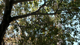 Greece the Aegean Sea Kos 022 Plane Tree of Hippocrates green foliage Footage