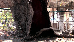 Greece the Aegean Sea Kos 023 fissured Plane Tree of Hippocrates Footage
