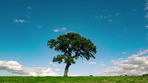 Fluffy Clouds over the Lonely Tree on Green Field Footage