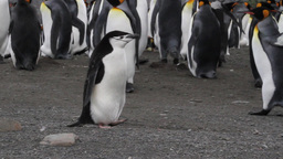 Chinstrap Penguin on the beach Footage