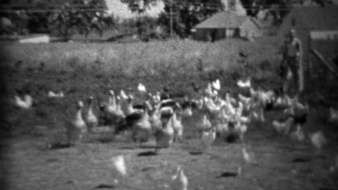 1934: Man feeding big flock of farm birds in rural setting Footage