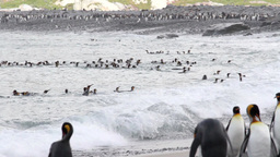 KIng penguins in the ocean Footage