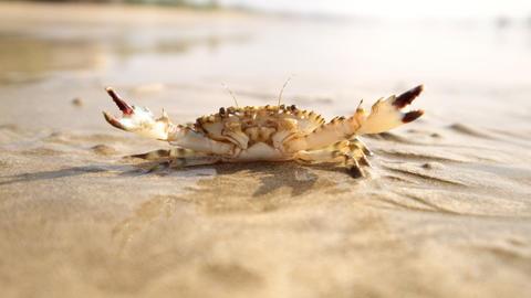 Crab at tropical ocean sandy beach Footage