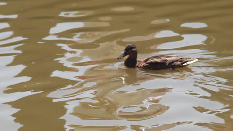 Brown duck swimming on a lake with small waves dirty 66 Footage