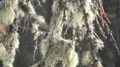thick beard lichen Footage