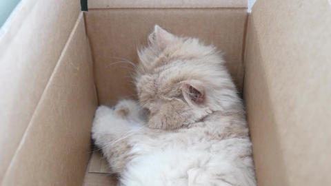 Top shot of persian cat sleeping face inside box Live Action