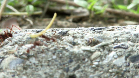 Ants Carrying Food Footage