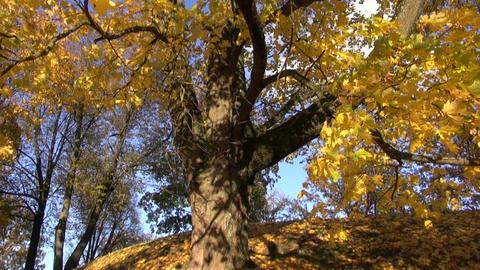 big autumn golden maple tree in park Footage