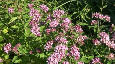 medical herb wild marjoram oregano (Origanum vulgare) and bee Live Action