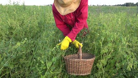 farmer picking fresh green pea in old wicker basket Archivo