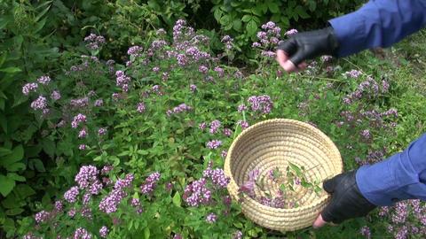 gardener harvesting wild marjoram oregano medical flowers. herbal medicine Live Action