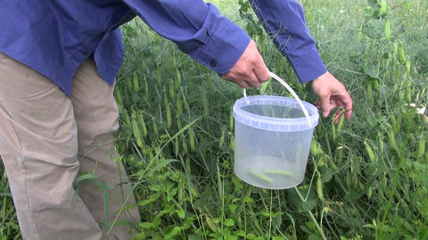 farmer pick fresh pea pod in bucket Footage