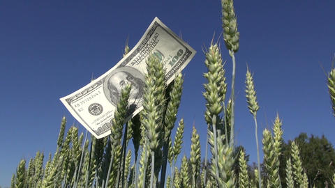 agriculture business concept on farm field. USA dollar banknote on wheat ears Live Action