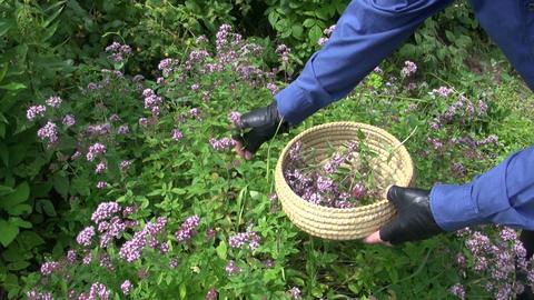 gardener harvesting wild marjoram oregano medical flowers Live Action