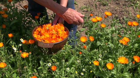 senior woman pick marigold calendula medical flowers in garden Archivo