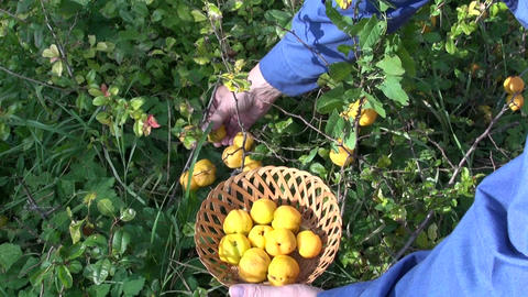 gardener harvesting ripe yellow quinces 영상물