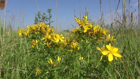 St Johns wort medical beautiful flowers in meadow Footage