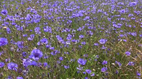 beautiful blue cornflower flowers summer field in wind Footage