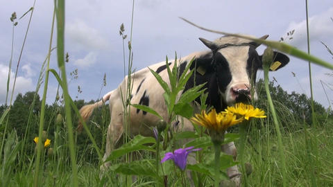 cow on grass field and flies Footage