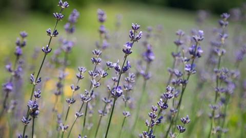 Flowering sprigs of lavender swaying in the wind Footage