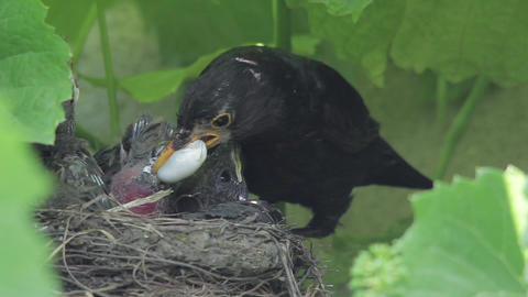 Blackbird bring food, chicks in the nest built in a block of vines, jumping all  Footage