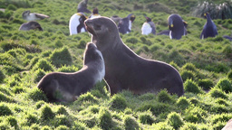 Southern fur seals playing Footage