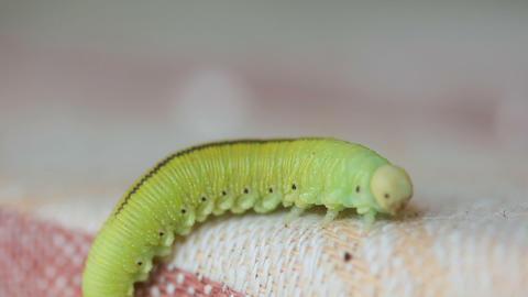 The Birch sawfly larva crawling on a cloth Footage