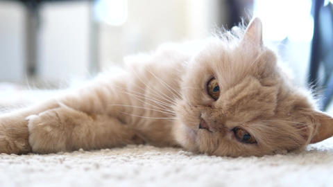Motion of persian cat lie down on the floor with 4k resolution Footage